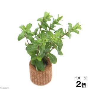 (水草)ライフマルチ(茶)ストロギネsp. パープル(水上葉)(無農薬)(2個)