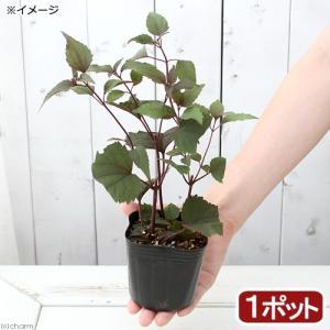 (山野草)銅葉フジバカマ(銅葉藤袴) 3号(1ポット)