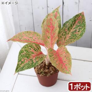 (観葉植物)アグラオネマ ラックサブ 3.5〜4号(1鉢)