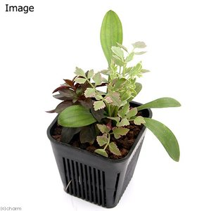 (ビオトープ/水辺植物)メダカが喜ぶ水辺植物!産卵・冬眠用寄せ植え 3号(1ポット)水質浄化