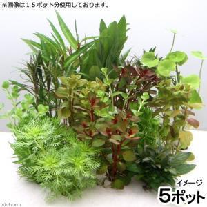 (水草)おまかせ水草ミニポット 5ポットセット(水上葉)(無農薬)|chanet