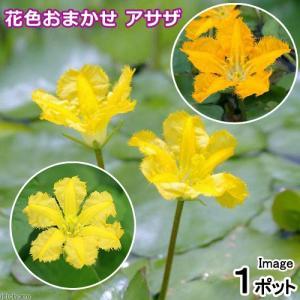 (ビオトープ)水辺植物 花色おまかせ アサザ(品種指定なし)(1ポット)