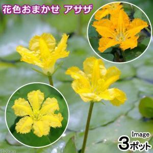 (ビオトープ)水辺植物 花色おまかせ アサザ(品種指定なし)(3ポット)