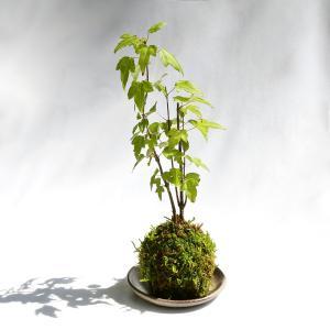 (盆栽)苔玉 品種おまかせ モミジ(紅葉)(1個) 観葉植物 コケ玉|chanet