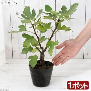 (山野草)盆栽 イチジクの苗(無花果) 品種記載なし 3〜4号(1ポット) (休眠株)
