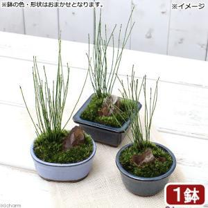 (山野草/盆栽)和盆栽 ヒメトクサ 鉢おまかせ(1鉢)