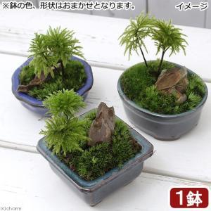 (山野草)盆栽 和盆栽 コウヤノマンネングサ 鉢おまかせ(1鉢)