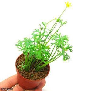(水草)ラヌンクルス パプレントゥス(水上葉) 鉢植え(無農薬)(3鉢)|chanet