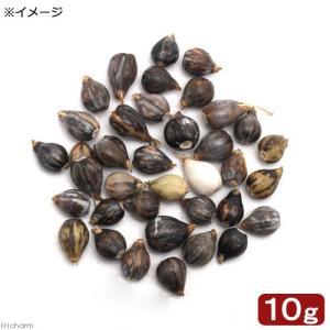 (ビオトープ/水辺植物)種子 ジュズダマ(数珠玉)(10g)