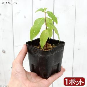 (盆栽)ロウバイ(蝋梅)3号(1ポット) (休眠株)