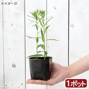 (ビオトープ/水辺植物)白花サワギキョウ(1ポット分)