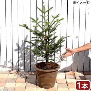 (観葉植物)同梱不可・中型便手数料 すぐ飾れる! 本物のもみの木 ウラジロモミノキ 鉢植え ブラウン(1鉢)高さ1m前後 才数180 chanet