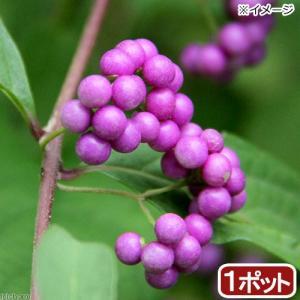 (山野草)ムラサキシキブ(紫式部)3号(1ポット) (休眠株)