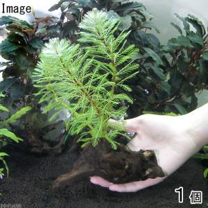 (水草)ミリオフィラムsp.オレンジ ローライマ産 流木付 Sサイズ(水上葉)(無農薬)(1本)(約15cm) 北海道航空便要保温