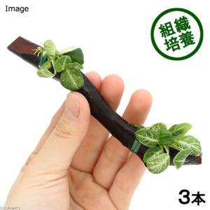 (水草)巻きたて 組織培養 アヌビアスナナ 斑入り スティック流木(無農薬)(3個)|chanet