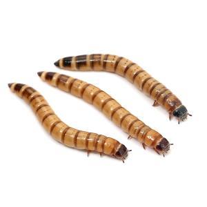 (生餌)ビッグミルワーム(ジャイアントミルワーム) 50g