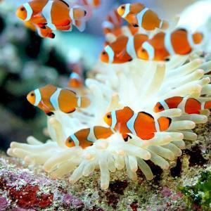 (海水魚 熱帯魚)カクレクマノミ(国産ブリード)(1匹) 北海道・九州・沖縄航空便要保温|chanet