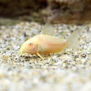 メーカー:■25〜30 メーカー品番: muryotassei_900_999 熱帯魚・エビ他 コリ...