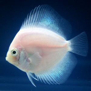 (熱帯魚)ホワイトダイヤモンド・ディスカス(Sサイズ)(1匹) 北海道・九州・沖縄航空便要保温