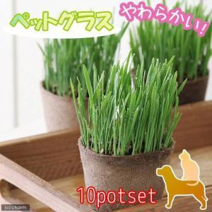 (観葉植物)猫草 ネコちゃん人気No.1(ペットグラス) 直径8cmECOポット植え(無農薬)(10ポット) 猫草 chanet