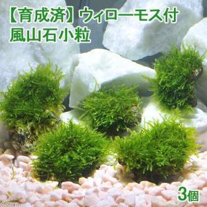 (水草)育成済 ウィローモス 風山石小粒(無農薬)(3粒) 北海道航空便要保温