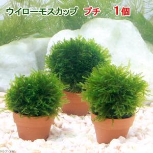 メーカー:草■0〜30 メーカー品番: _wp _aqua 熱帯魚・エビ他 ウィローモス特集 活着す...