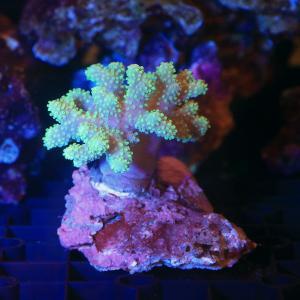 (サンゴ)沖縄産 ヤナギカタトサカ ライトグリーン(1個) 北海道・九州航空便要保温|chanet