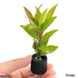 (水草)マルチリング・ブラック(黒) ポリゴナム ベタンクレア(水上葉)(無農薬)(1個)