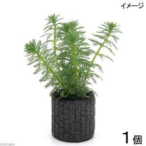 (水草)マルチリング・ブラック(黒) ミリオフィラムsp.(ガイアナドワーフ)(水上葉)(無農薬)(1個)