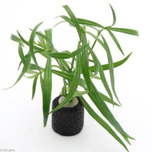 (水草)マルチリング・ブラック(黒) ケニオイグサsp オレンジ(水上葉)(無農薬)(1個)