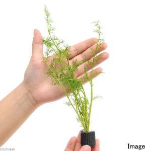 (水草)マルチリング・ブラック(黒) ファインリーフ ラオススプライト(水上葉)(無農薬)(1個)