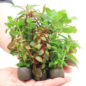 (水草)置くだけ簡単 マルチリングブラック(黒) おまかせ有茎草5種(水上葉)(無農薬)(計5個)|chanet