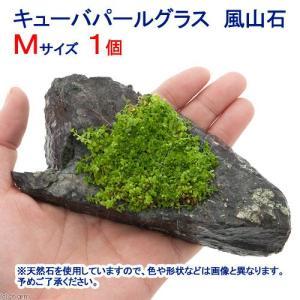 (水草)巻きたて キューバパールグラス 風山石 Mサイズ(約14cm)(無農薬)(1個) 北海道航空...