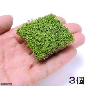 (水草)キューバパールグラス(水上葉) キューブタイプLサイズ(約4cm)(無農薬)(3個) 北海道...