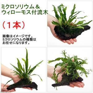 (水草)ミクロソリウム&ウィローモス付 流木(約15cm前後)(1本)