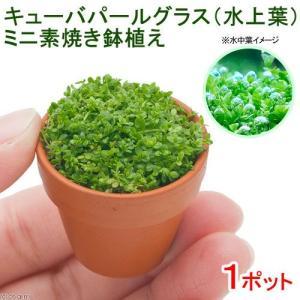 (水草)キューバパールグラス(水上葉) ミニ素焼き(無農薬)(1ポット分) 北海道航空便要保温