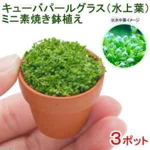 (水草)キューバパールグラス(水上葉) ミニ素焼き(無農薬)(3ポット分) 北海道航空便要保温