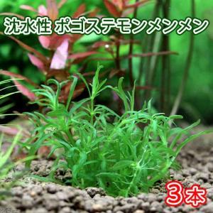 (水草)沈水性 ポゴステモン メンメン(無農薬)(3本) 北海道航空便要保温