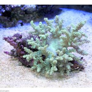 (サンゴ)沖縄産 カワラフサトサカ ライトグリーン Mサイズ(1個) 北海道・九州航空便要保温|chanet
