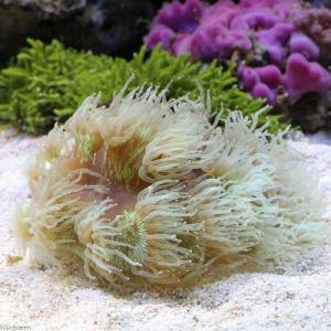(海水魚 サンゴ)トランペットコーラル おまかせカラー(1個) 北海道・九州航空便要保温|chanet