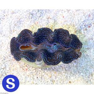 (サンゴ)ヒメシャコガイ ブルー Sサイズ(ブリード)(1匹) 北海道・九州航空便要保温