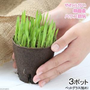 (観葉植物)長さで選べる ペットグラス 直径8cmECOポット植え(短め)(無農薬)(3ポット) 猫草 chanet
