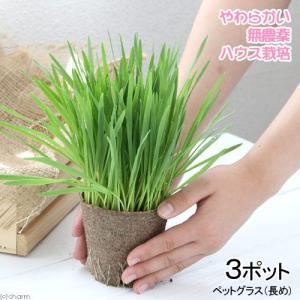 (観葉植物)長さで選べる ペットグラス 直径8cmECOポット植え(長め)(無農薬)(3ポット) 猫草|chanet