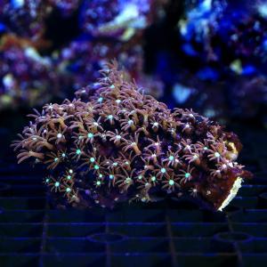 (サンゴ)沖縄産 スターポリプsp. センターグリーン Sサイズ(1個) 北海道・九州航空便要保温|chanet