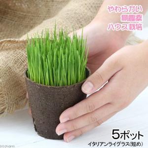 (観葉植物)長さで選べる イタリアンライグラス 直径8cmECOポット植え(短め)(無農薬)(5ポット) 北海道冬期発送不可 関東当日便|chanet