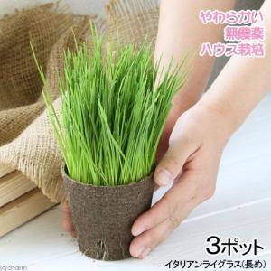 (観葉植物)長さで選べる イタリアンライグラス 直径8cmECOポット植え(長め)(無農薬)(3ポット)|chanet