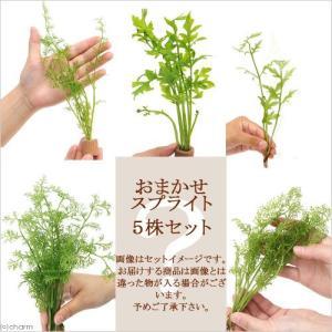 (水草)品種おまかせスプライト(水上葉)(無農薬)(5株) 北海道航空便要保温