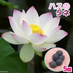 − ハスのタネ (5粒) 発送サイズ 種子サイズ1〜1.5cm程度 発芽方法 非常に硬い種皮に覆われ...