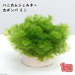 (水草)メダカ・金魚藻 ハニカムシェルター カボンバ ミニ(1個) 北海道航空便要保温|chanet
