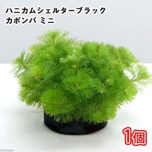 (水草)メダカ・金魚藻 ブラックハニカムシェルター カボンバ ミニ(1個) 北海道航空便要保温|chanet